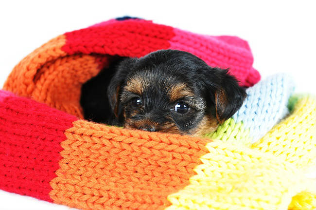Puppy wrapped in a scarf