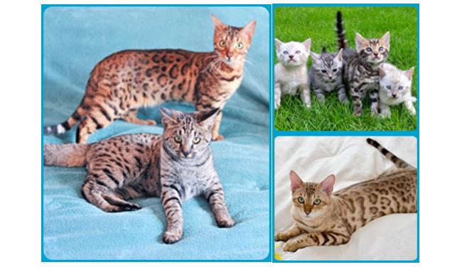 Cat breeding with the wardle family