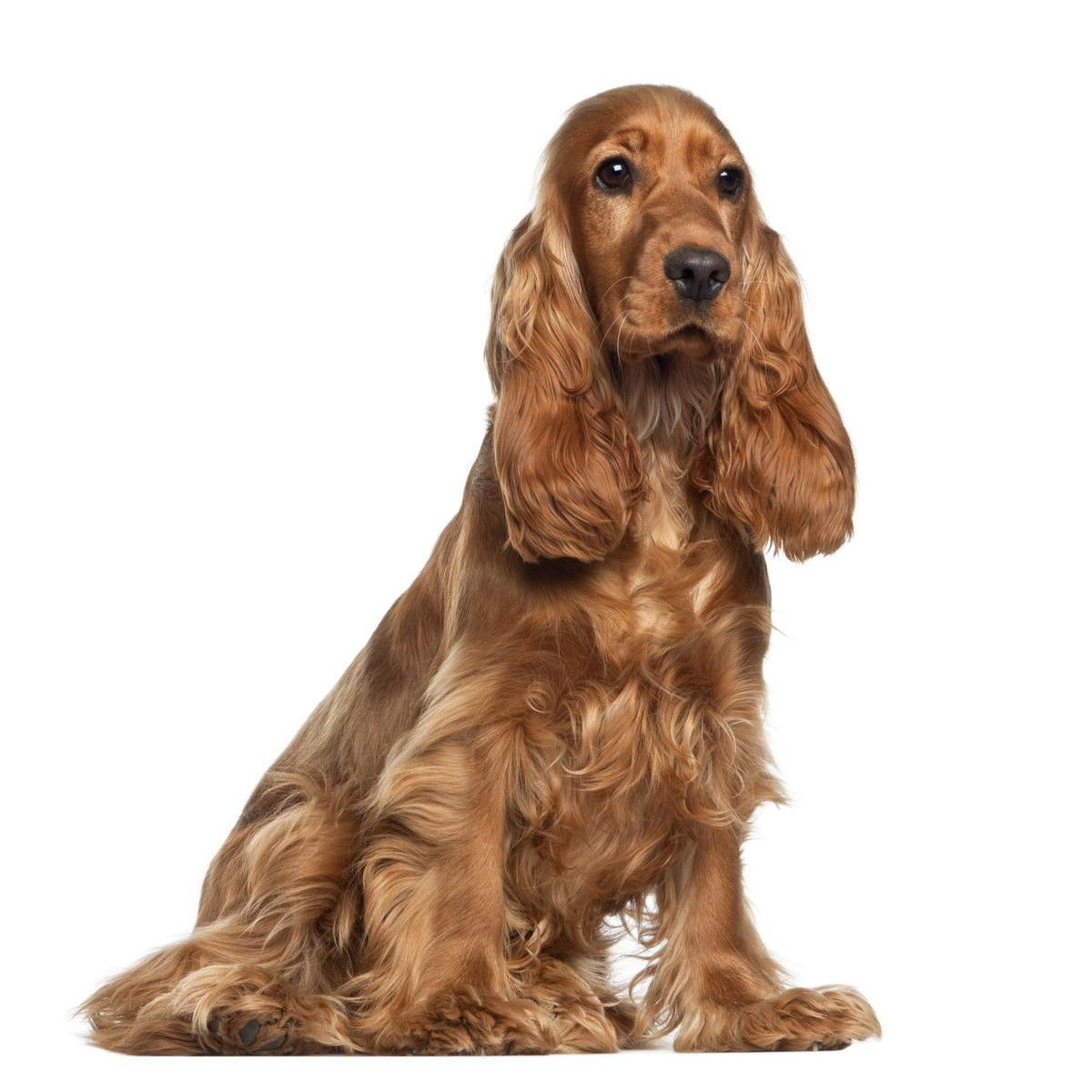 the top dogs of crufts www pet insurance co uk
